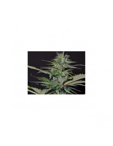 Exclusive Seeds Auto Bilberry 5 unidades