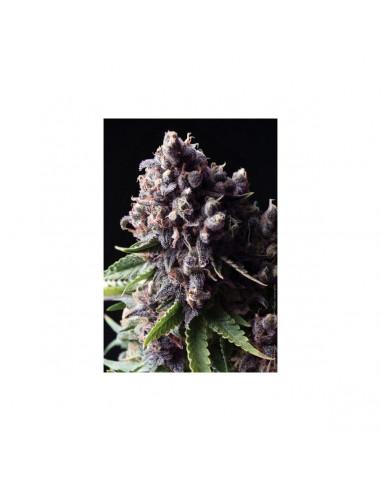 Pyramid Seeds Auto Purple 1 unidades